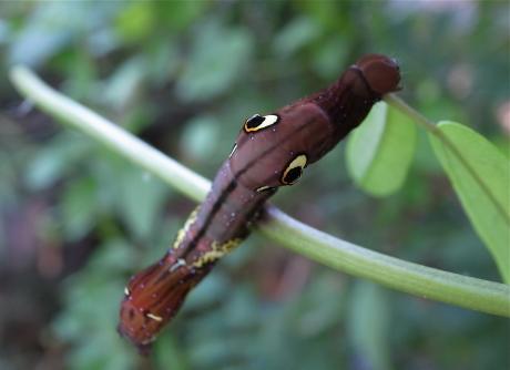 アケビコノハ幼虫2