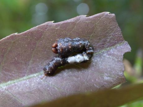 スカシカギバ幼虫3