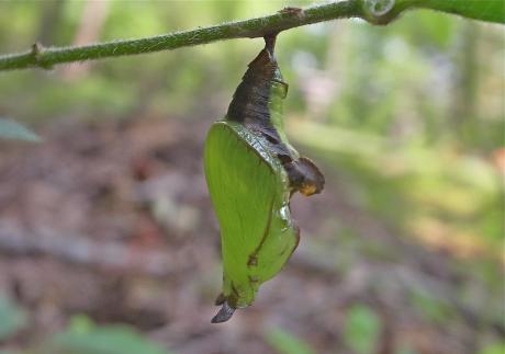 イチモンジチョウ蛹