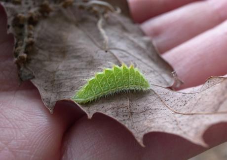 ミズイロオナガシジミ幼虫3