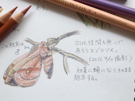 エゾヨツメ幼虫・スケッチ
