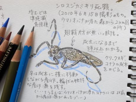 シロスジカミキリ死骸2