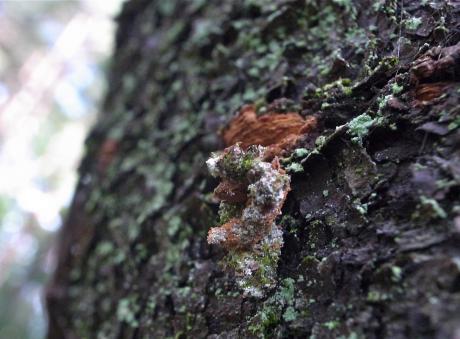 シラホシコヤガ幼虫3