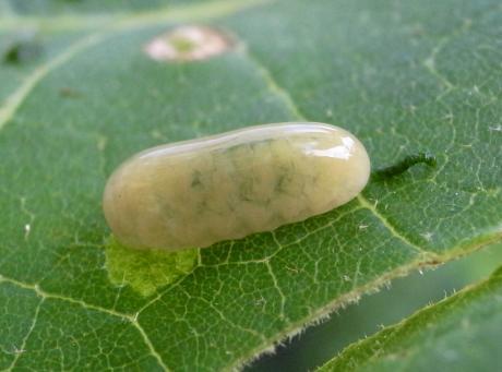 クロタマゾウムシ幼虫