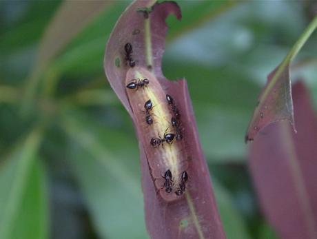 ムラサキシジミ幼虫