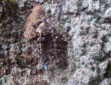 ホシオビコケガ幼虫
