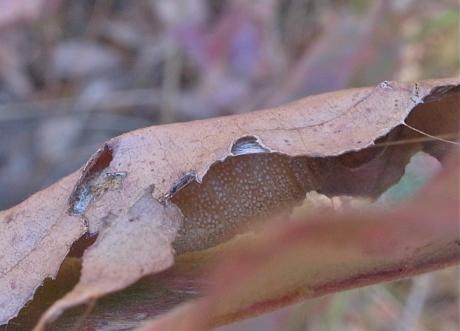 ミヤマセセリ幼虫