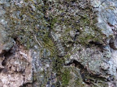 コケガ幼虫