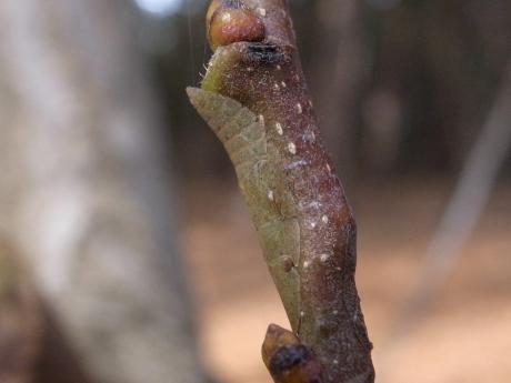コミミズク幼虫4