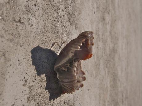 ジャコウアゲハ蛹2