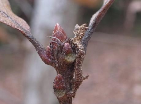 キマエアオシャク幼虫