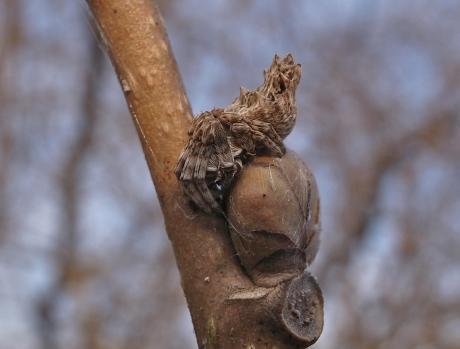 ゴミグモ幼体
