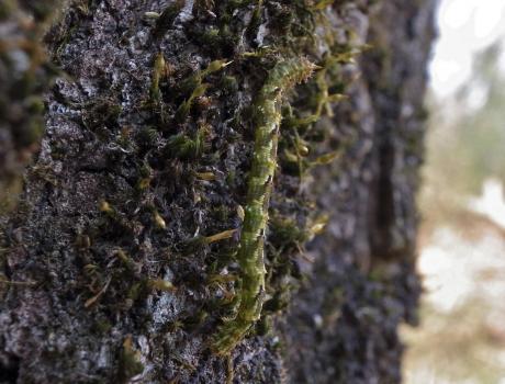 キスジシロヒメシャク幼虫