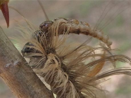 リンゴコブガ幼虫3
