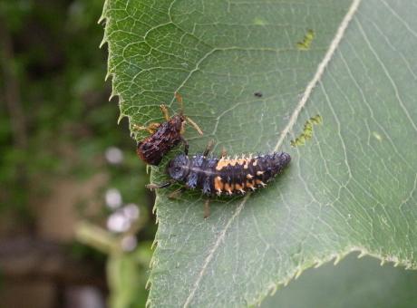 キベリトゲハムシ&ナミテントウ幼虫2