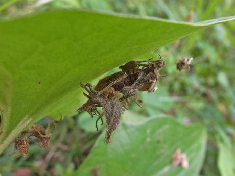 ギンスジアオシャク蛹か