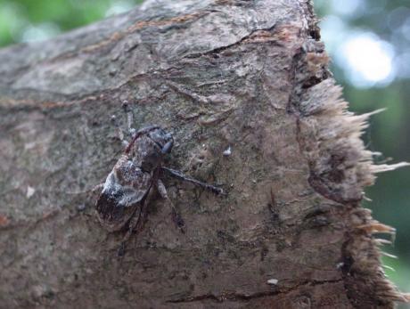 ナカジロサビカミキリ