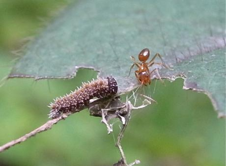 イチモンジチョウ幼虫3