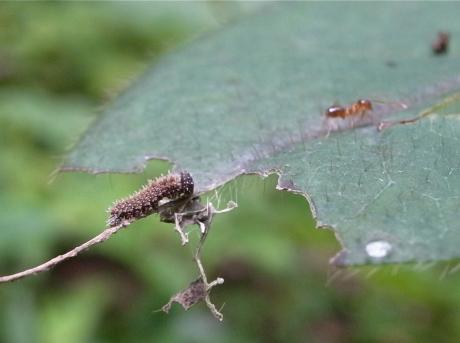 イチモンジチョウ幼虫4