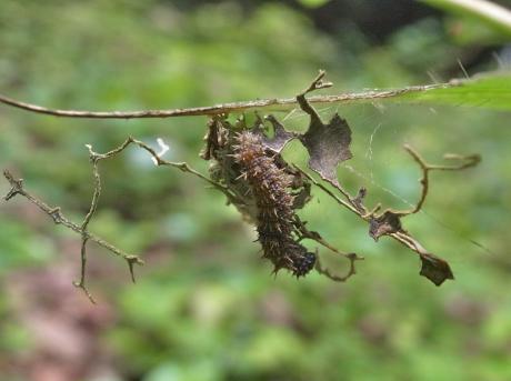 イチモンジチョウ幼虫5