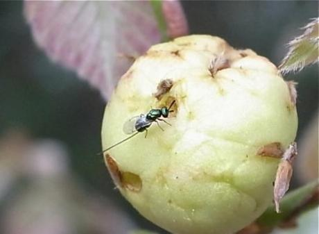 寄生蜂の一種2