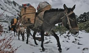 CARAVAN mule