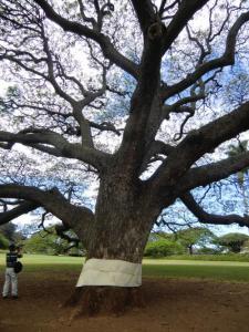 モアナルアガーデン 大きな木