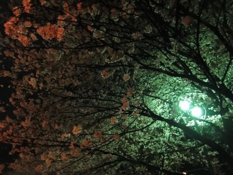 酒津の夜桜3