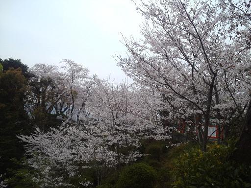 ちょっと上からの桜さーん