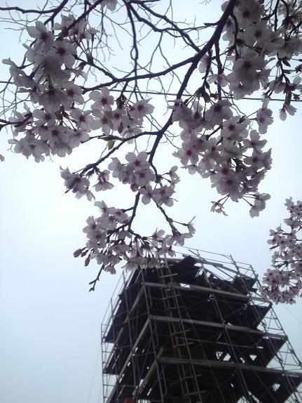 青空だったらよかったのにぃ の桜②