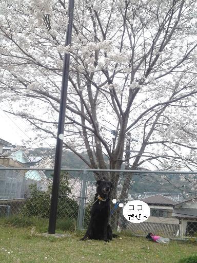 カエル公園で桜お花見♪