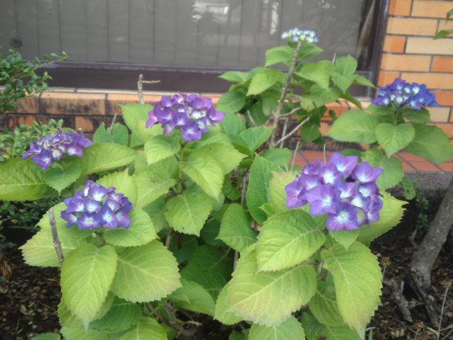 かわいいアジサイ 紫♪