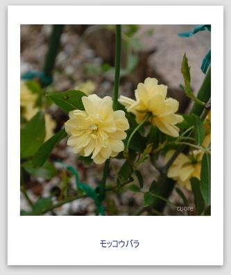 モッコウバラ黄