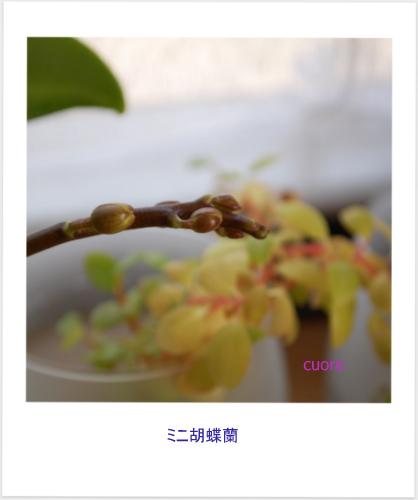 Phalaenopsis_2013_1