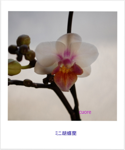 Phalaenopsis_2013_2