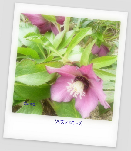 Christmas rose_purple2013