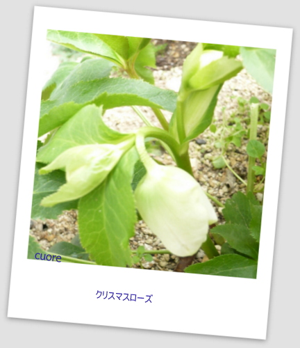 Christmas rose_white2013