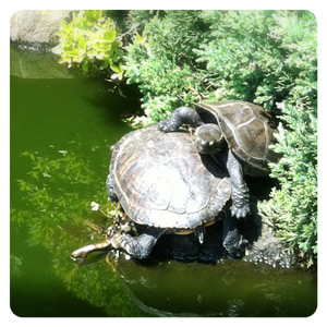 江ノ島の亀
