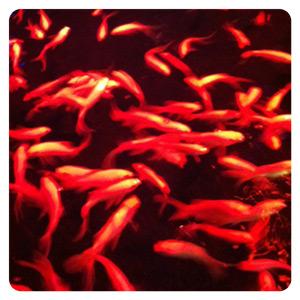 アートアクアリウム展2012・金魚たくさん