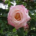 白とピンクのツートン2