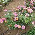 花壇のバラ(ピンク)