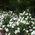 花壇のバラ(白)