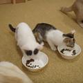 食欲旺盛な仔猫たち