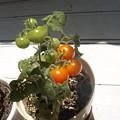 8.3のトマトちゃん