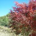 お日様に照る山紅葉