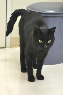 頭の良さそうな黒猫ニャン