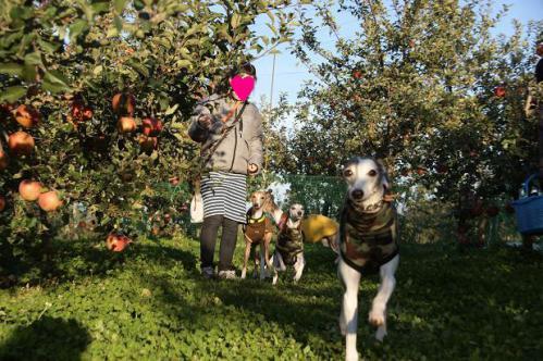 ピクニックと林檎狩り22