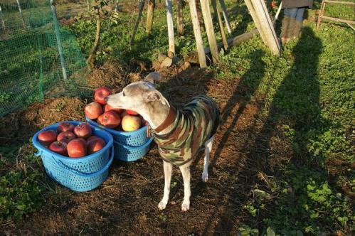 ピクニックと林檎狩り26