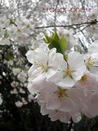 お花見130323_1