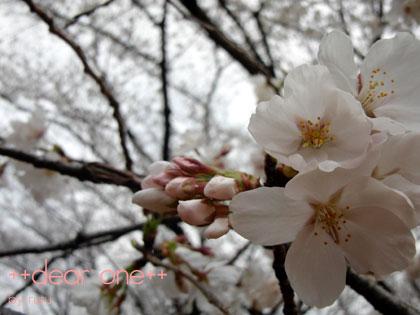 お花見130323_4